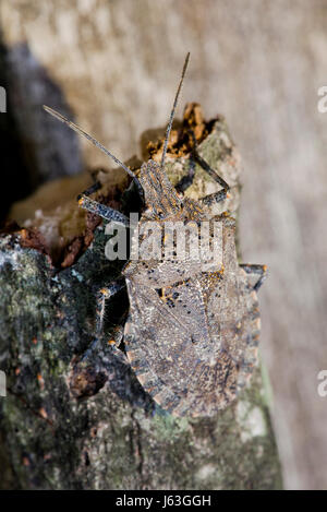 Brown marmorated stink bug  (Halyomorpha halys) sitting on tree branch - USA - Stock Photo