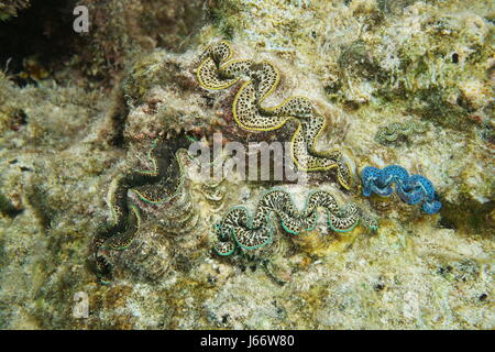Colorful marine bivalve molluscs underwater, maxima clam, Tridacna maxima, Pacific ocean, Bora Bora, French polynesia - Stock Photo