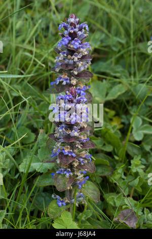 Pyramidal Bugle (Ajuga pyramidalis) - Stock Photo