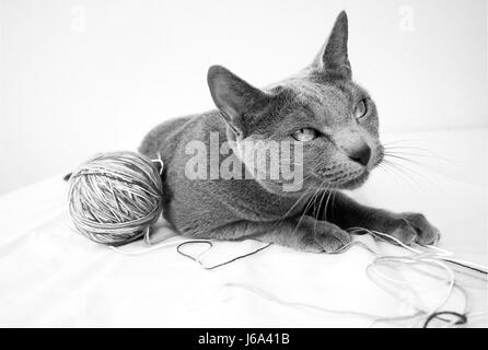 portrait of a russian blue cat breed - Stock Photo
