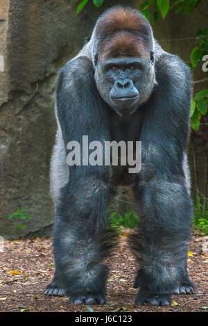 Gorilla at Taronga Zoo, Sydney, Australia. - Stock Photo