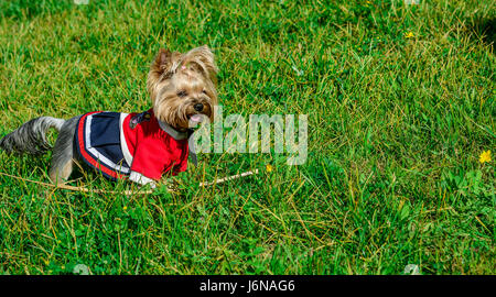 Cute and stylish little dog playing on grass - Stock Photo