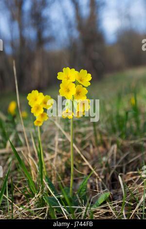 Primula auricula, often known as auricula, mountain cowslip or bear's ear - Stock Photo