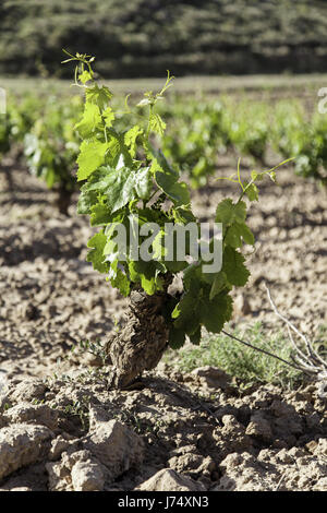 Vineyard, detail of some vineyards in the countryside, vineyards, wine - Stock Photo