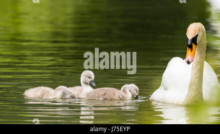 Cygnets. White Mute Swan (Cygnus olor),family an adult and several cygnets swimming in water in late Spring in the - Stock Photo
