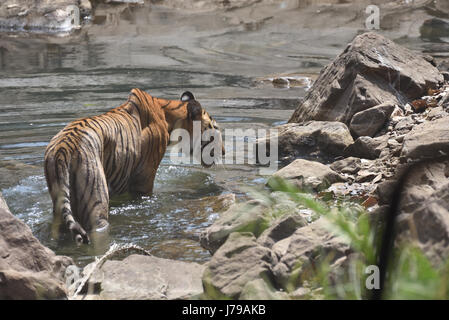 Tiger drinking from a water hole in Ranthambhore national park, Rajasthan, India - Stock Photo