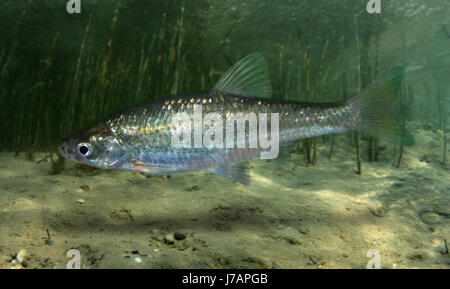 Lisbon's arched-mouth nase, Iberochondrostoma olisiponensis. New species (2007) endemic of Portugal. - Stock Photo