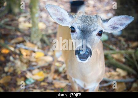 Key deer grazing and gazing, National Key Deer Refuge Key Deer, Big Pine Key, Florida Keys - Stock Photo