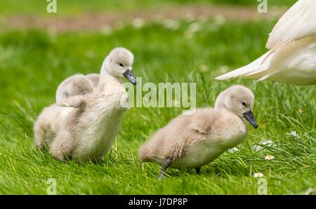 Swan chicks waddling on grass. - Stock Photo