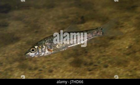 Andalusian barbel, Luciobarbus sclateri. Young animal. Photographed in aquarium. Portugal - Stock Photo
