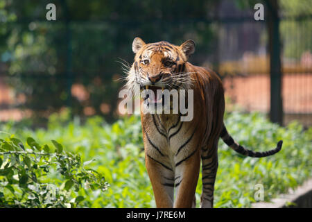 A royal Bengal Tiger ta Dhaka Zoo. Dhaka, Bangladesh - Stock Photo
