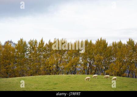 Sheep grazing in autumn, Scotland, UK. - Stock Photo