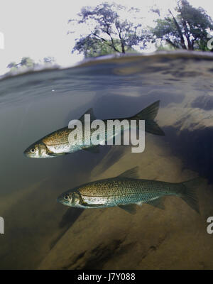 Iberian nase, Pseudochondrostoma polylepis. On stone bottom river.  Portugal - Stock Photo