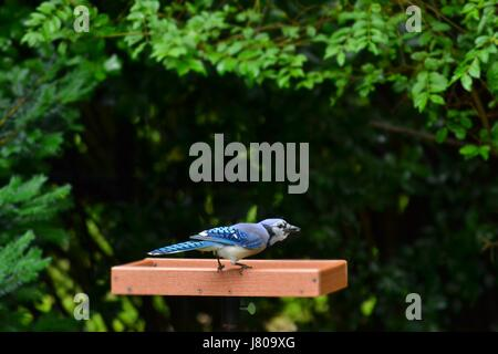 Blue Jay, Cyanocitta cristata, perched on platform bird feeder in backyard sunflower seed in beak with background - Stock Photo