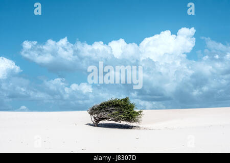 Lonely tree-flag in the desert on the way to the national park Jericoacoara, Ceara state, Brazil - Stock Photo