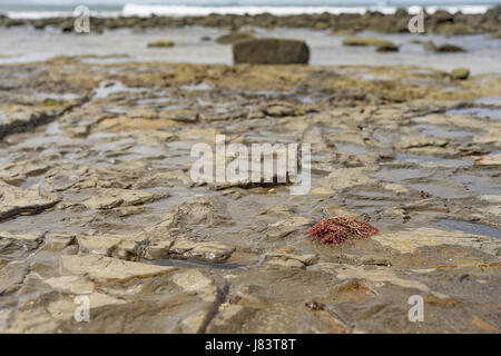 Mooloolaba beach Australia, low tide on rocky foreshore with seaweed, rocks, salt water pools and waves in background - Stock Photo