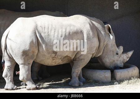 The white rhinoceros or square-lipped rhinoceros (Ceratotherium simum). - Stock Photo