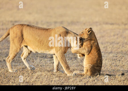 Lion cub (Panthera leo) playing with his mother on the savanna, Serengeti national park, Tanzania - Stock Photo
