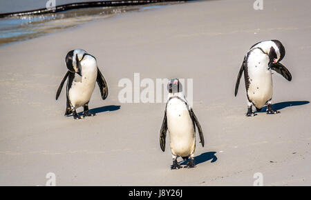 African or Jackass penguins, Spheniscus demersus, preening after being in sea, beach colony at Simon's Town, Cape - Stock Photo