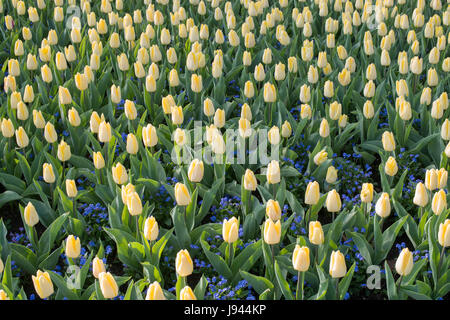 Tulipa and Myosotis sylvatica 'Bluesylva'. Tulip 'Sunny prince' and Forget me not flowers in a flowerbed at RHS - Stock Photo