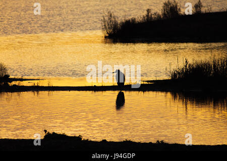 Silhouette of a Grey or Gray Heron (Ardea cinerea) in wetland wetlands environment at sunset - Stock Photo