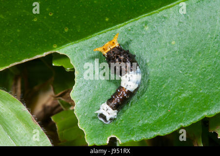 Lime Butterfly Caterpillar (Papilio demoleus malayanus), 3rd Instar, Far North Queensland, FNQ, QLD, Australia - Stock Photo