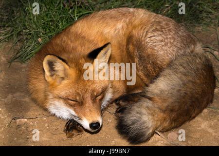 Red Fox (Vulpes vulpes) sleeping - Stock Photo