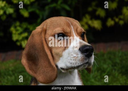 Beagle puppy in a grass field - Stock Photo