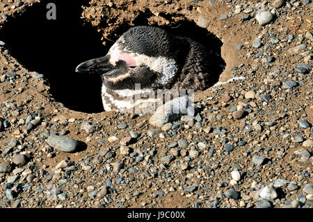 Megellanic Penguins burrowed-in on the Isla Magdalena on 3/14/2014 - Stock Photo
