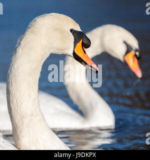 Two adult mute swans - Stock Photo
