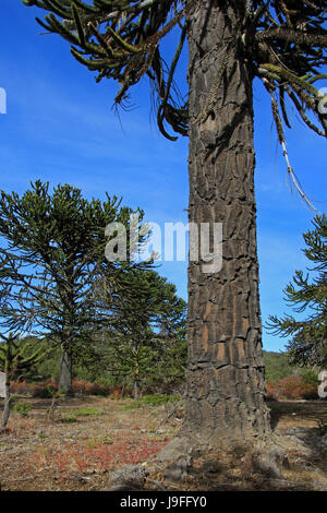 Araucaria, Monkey Puzzle Trees, forest near lake Alumine, Patagonia Argentina - Stock Photo