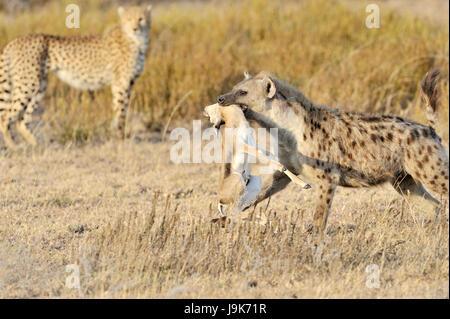 Spotted Hyena (Crocuta crocuta) with killed Thomson's Gazelle, with cheetah (Acinonyx jubatus) in background, Serengeti - Stock Photo