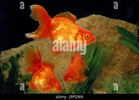 Goldfish,aquarium,Carassius auratus, - Stock Photo