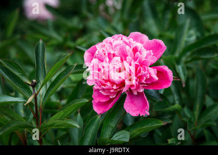 Pink peony (Paeonia lactiflora) growing in an English garden border in late spring to early summer, Surrey, south - Stock Photo