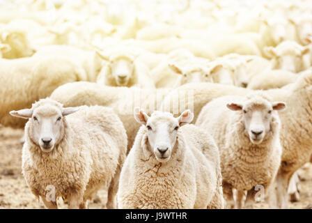 Livestock farm, flock of sheep - Stock Photo