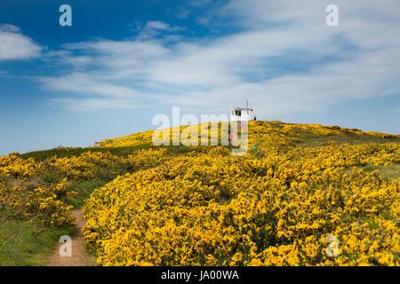 UK, Wales, Pembrokeshire, Martin's Haven, gorse filled hillside below Coastguard Lookout - Stock Photo
