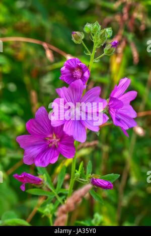 rose mallow - malva alcea - Stock Photo