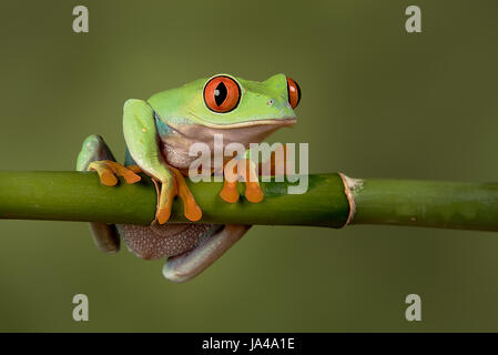 A close up portrait of a red eyed tree frog hanging on to a bamboo shoot looking forward and about to fall - Stock Photo