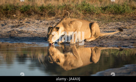 Adult Lioness drinking water from a natural pan in the Savuti area of the Chobe National Park in Botswana - Stock Photo