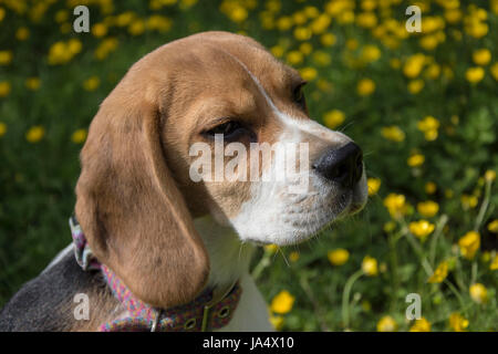A girl Beagle puppy with posing in front of a field of yellow dandelions - Stock Photo