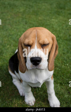 A Beagle girl puppy with closed eyes posing for the camera in a field - Stock Photo