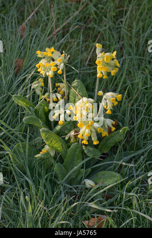 Cowslip, Primula veris, in flower on a grassy bank, Berkshire, April - Stock Photo