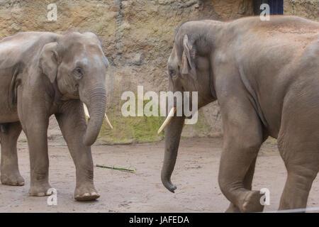 afrikanischer elefant rüsseltier - Stock Photo