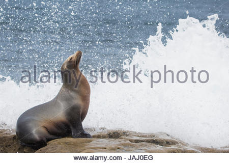 Portrait of a California sea lion, Zalophus californianus, basking in the surf. - Stock Photo