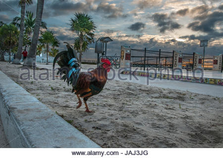 Rooster on Higgs Beach in Key West, Florida. - Stock Photo