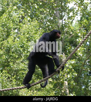 Tightrope walking South American Red-Faced Black Spider Monkey (Ateles paniscus) a.k.a. Guiana spider monkey. - Stock Photo