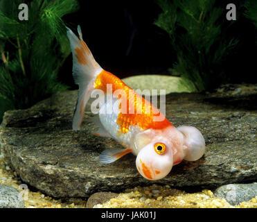 Goldfish,bubble eye,Carassius auratus, - Stock Photo