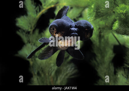 Goldfish,Dragon Eye goldfish,Carassius auratus,adult animal, - Stock Photo