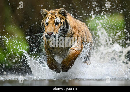 Siberian tiger hunting in the river - Stock Photo
