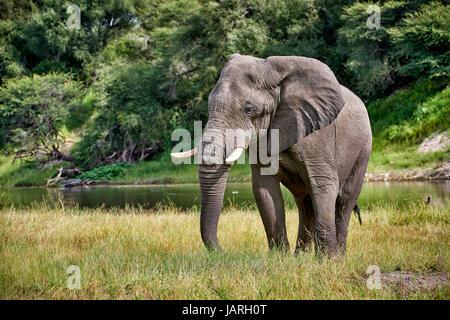 African bush elephant at Boteti River, Makgadikgadi-Pans-National Park, Botswana, Africa - Stock Photo